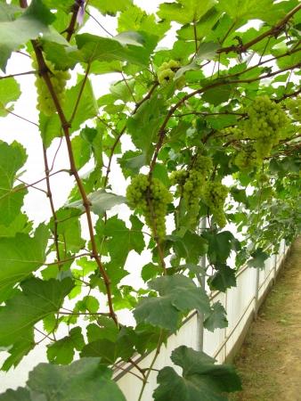 green grapes at the vineyard Stock Photo - 18221807