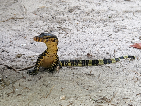 young lizard on the beach, Rok island Stock Photo