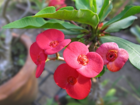 Pink Euphorbia milii in a flowerpot