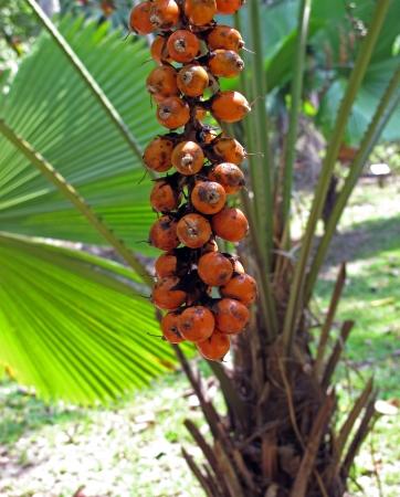 closeup palm seed Stock Photo - 18567996