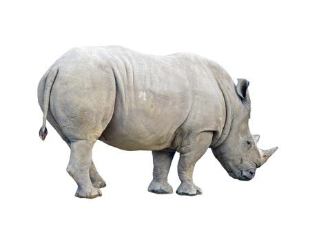Rhinoceros isolado no branco