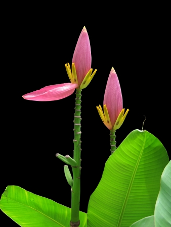 Flowering banana isolated on black. Stock Photo - 20957074