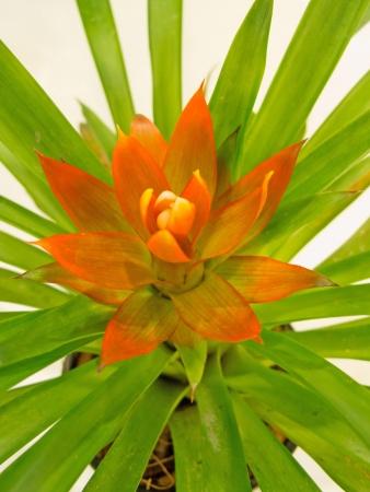 Planta brom�lia laranja isolado no branco