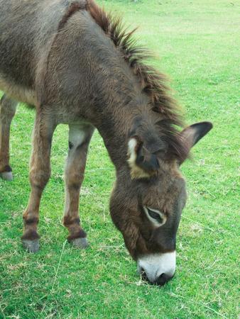 Asno de Brown que come a grama em um campo verde.