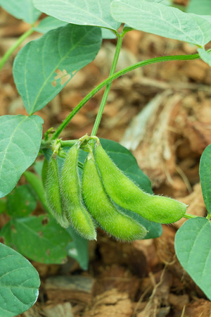 pigeon pea: Fresh pod of soybean on tree in close-up. Stock Photo