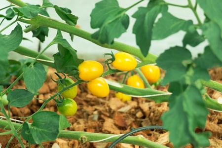 tomate de arbol: Amarillo del tomate de cereza en Holanda especies de árboles. Foto de archivo