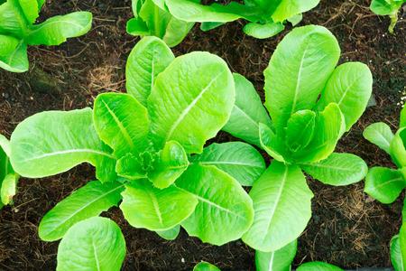 butter head: Fresh Green Cos Lettuce Butter Head in farm.