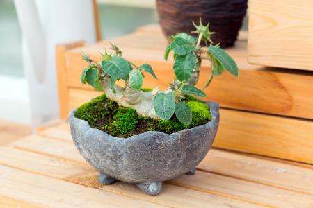 bonsai tree: bonsai tree in pot on wooden stand. Stock Photo