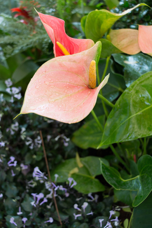 spadix: Pink Spadix or flamingo flower (Anthuriums) in the garden.