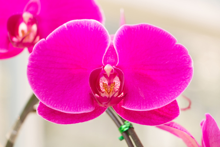 androecium: Close-up of fresh pink Phalaenopsis Orchid in garden. Stock Photo