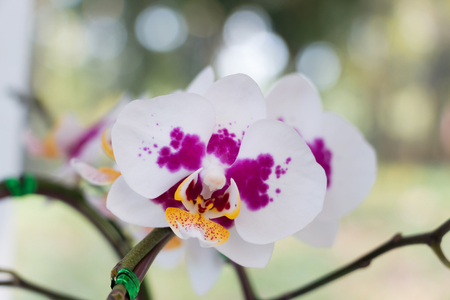 androecium: Close-up of fresh white Phalaenopsis Orchid in garden. Stock Photo