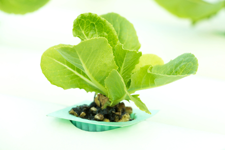 butter head: Baby Green Cos Lettuce or Butter Head in hydroponic farm.