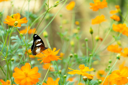 A butterfly stopping at yellow cosmos flower for collect pollen selective focus. Imagens