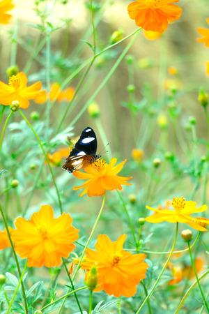 recoger: Una mariposa parando en la flor amarilla del cosmos para el polen a cobro revertido.
