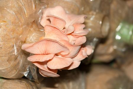 Oyster mushroom (Pleurotus djamor) in mushroom farm. Imagens