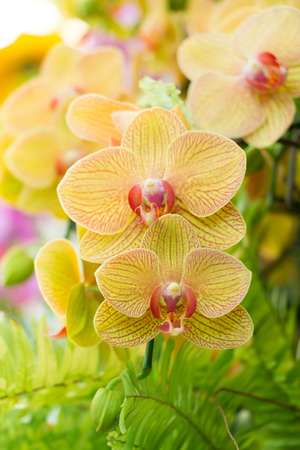 Close-up of streaked Phalaenopsis Orchid in garden.