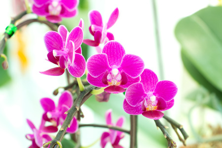 A bunch of pink Phalaenopsis Orchid in garden. (selective focus) Stock Photo