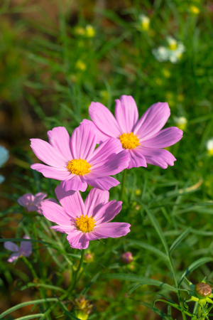 Close-up of purple cosmos flower blooming in the garden. Stock Photo