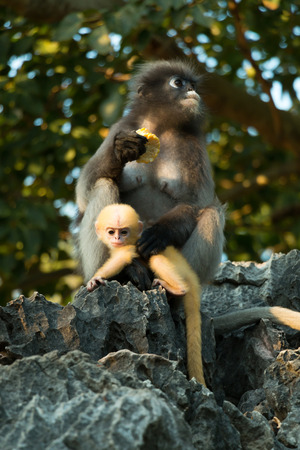 Dusky langur mommy and baby with golden fur looking at camera.