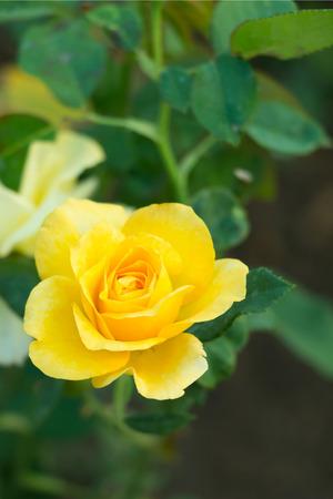 Yellow rose in green garden, selective focus on center of pollen.