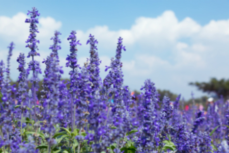 Blurry of lavender field and cloudy blue sky. Stock Photo