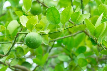 Fresh green lemon on plant in the garden.