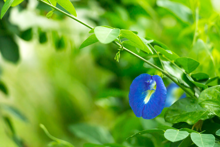 Butterfly pea or Dok Anchan in Thai; the valuable blue flower.