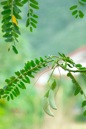 Vegetable Humming Bird (Sesban or Agasta) on plant.