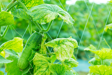 Green cucumber hanging on its tree in the garden. Stock Photo