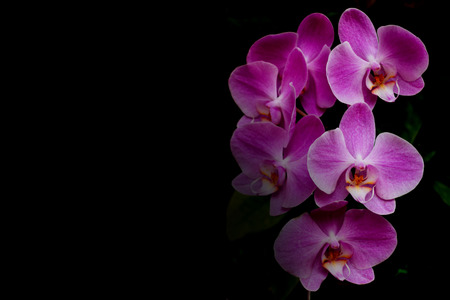 Pink orchid flower on black background with copy space. Stock Photo
