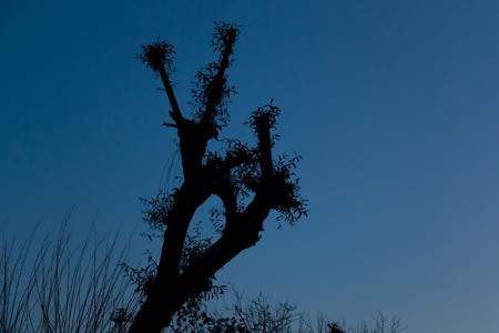 Tree silhouette with background of blue sky in toward evening. Stock Photo