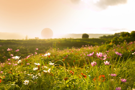 Blurry of Cosmos flower garden with background of sunset. Stock Photo