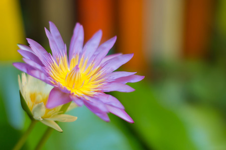 Violet waterlily or lotus flower in close-up with soft focus.