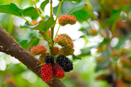 Unripe and ripe mulberries fruit on tree in close-up.