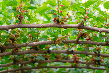 Fresh mulberries in farm shoot in angle of wide and elevation and select focus at the nearest branch.