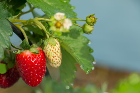 Fresh strawberry hanging on tree in plantation on sunny day in close-up.