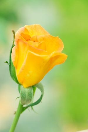 Blurry single budding gloden yellow rose in garden.