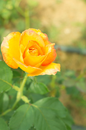 Blurry single budding yellow rose in garden.