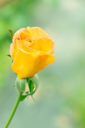 Close-up of golden yellow rose in garden focus at middle of flower.