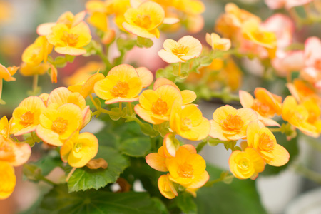 Yellow begonia background in blurry diffuse image style.
