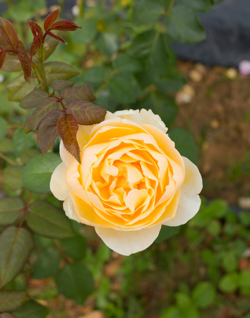 Top view of yellow rose in green garden. Stock Photo