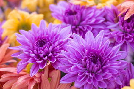 Close-up of violet chrysanthemum flower in the midst of pink and yellow flower.