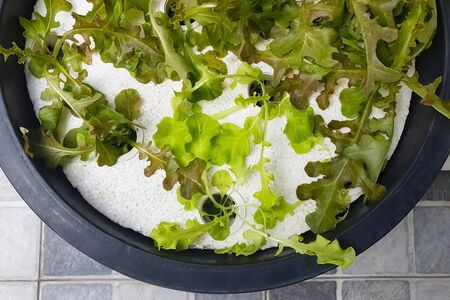 Close-up of hydroponic lettuce planting in plastic basin; easy way for people who love eating vegetable for good healthy.