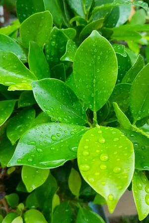 Green leaves on limb with raindrops after raining shoot by mobile camera with soft focus.