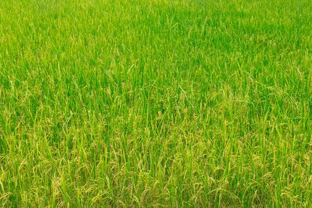Green rice field background in soft focus; matured off-season rice ready for harvest.