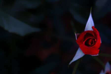 Top view of one budding red rose flower in the garden in dark tone; soft and selected focus with copy space. Stockfoto