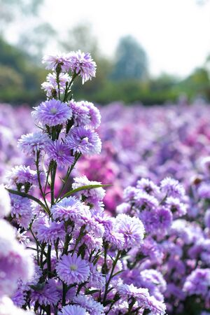 Blurry image of the beautiful branch of fresh blooming purple Margaret flowers in the garden on a sunny day. Stockfoto