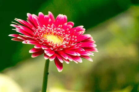 Close-up of one pink Gerbera flower with yellow pollen in the green garden in blurry watercolor style.