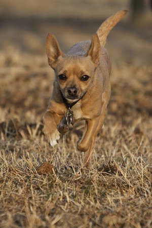 dog leaping through field