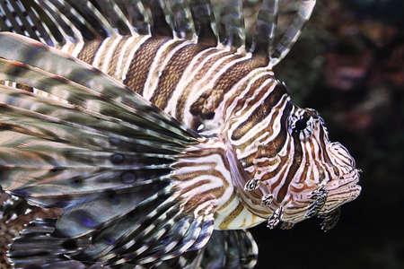 lion fish Stock Photo
